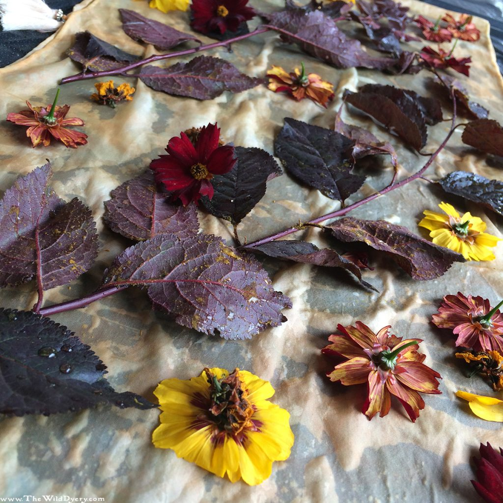 eco printing with dyers coreopsis flowers and copper beech leaves